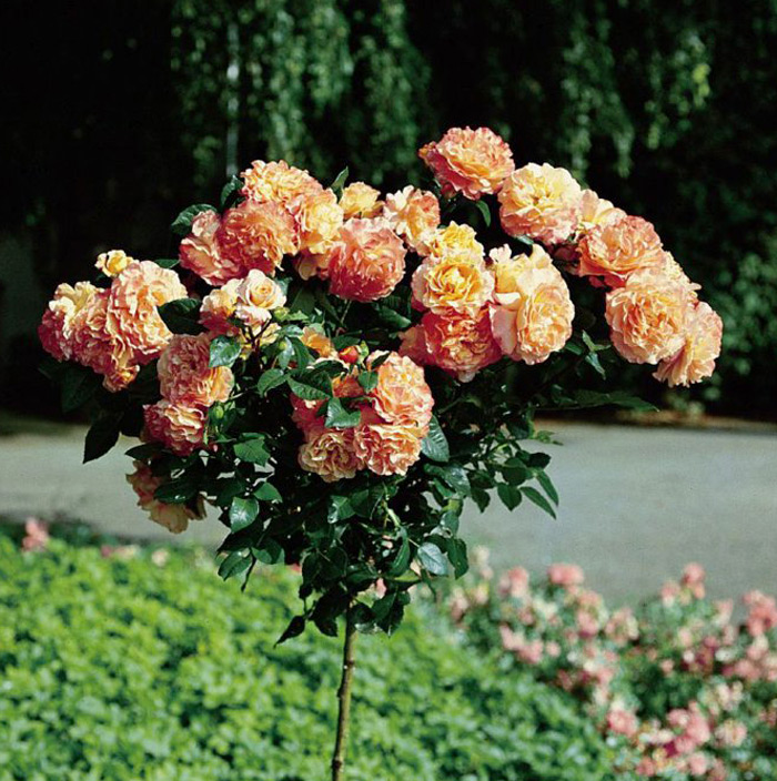 Розы на штамбе